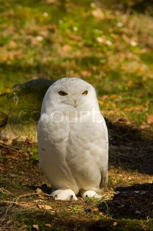 owl winter bird animal - photo #32