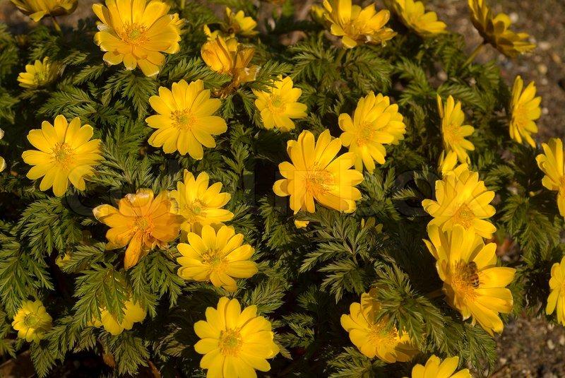gelbe pflanze frühling