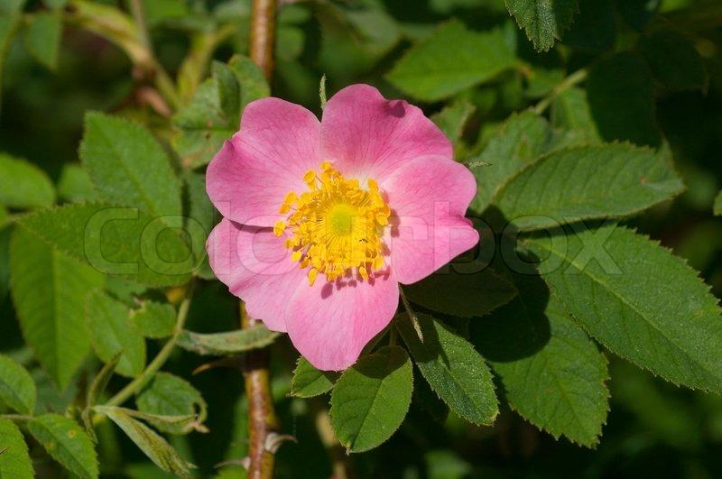 Rose, flower, rosa, garden, nature, pink, blossom, summer, petal ...