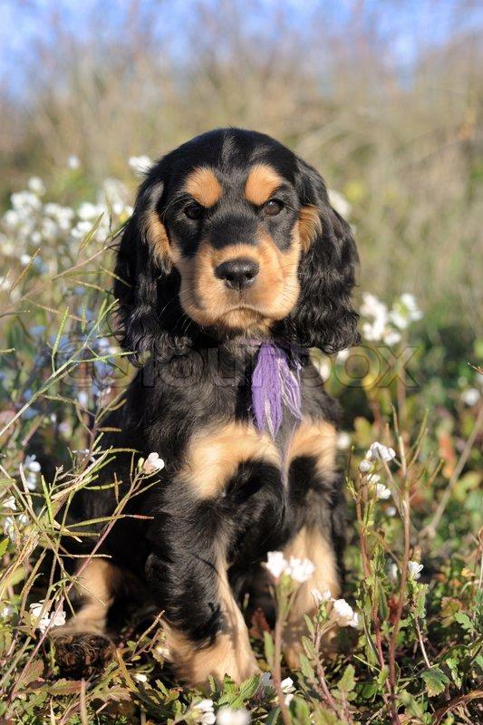 Portrait Of A Puppy Purebred English Cocker In A Field