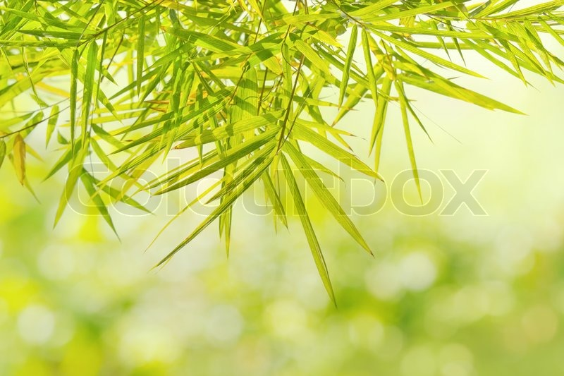 Natural Green Bamboo Leaf On Blur Background Of Forest Stock Photo
