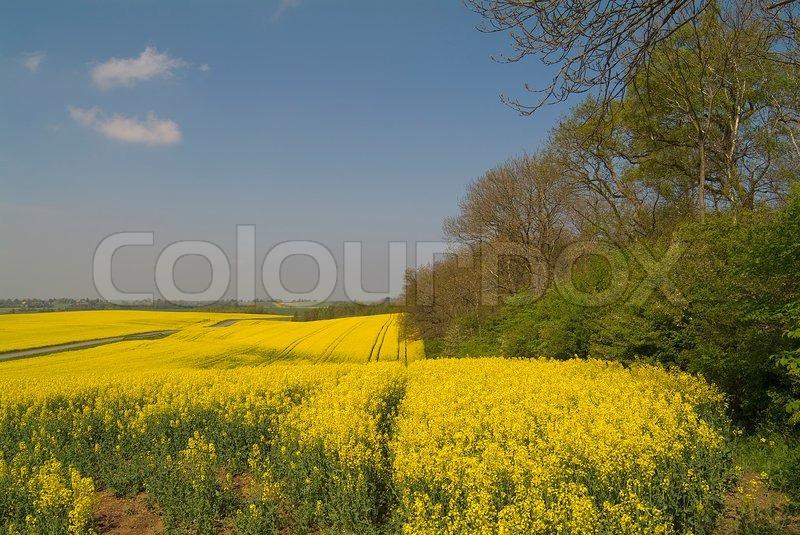 beautiful yellow field landscape - photo #23