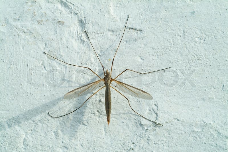 daddy longlegs macro insect nature animal cranefly fauna sit natural posed legs. Black Bedroom Furniture Sets. Home Design Ideas