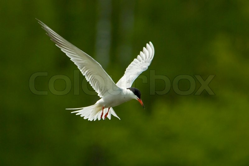 Bird, tern, wildlife, sterna, beak, white, flying, nature, feather, bill, animal, gull, fly, wings, wing, black, common, fauna, beautiful, red, grey, natural, flight, seagull, fast, head, lovely, life, feathers, graceful, portrait, wingspan, backlit, back