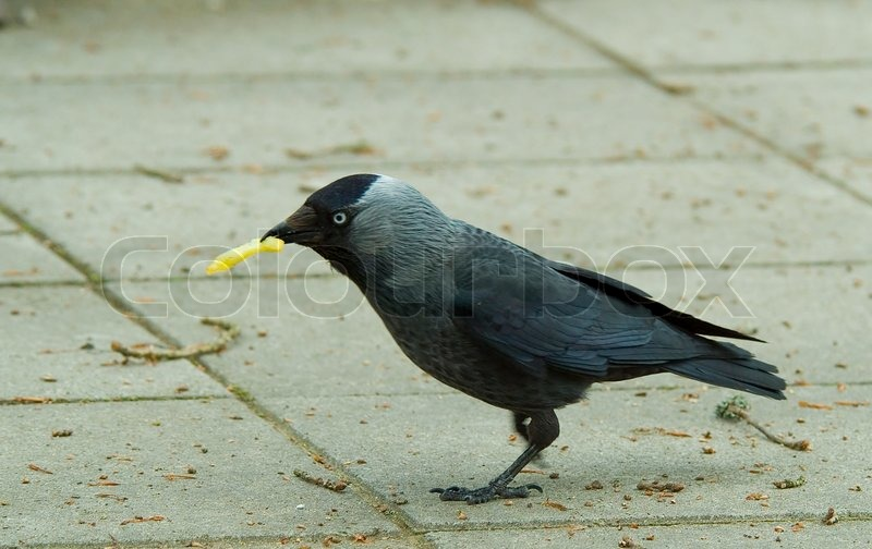 Jackdaw Bird Black Feather Nature Fauna Wing
