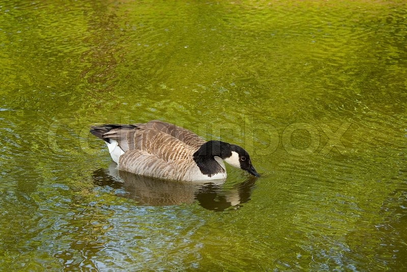 Water, avian, wildlife, reflection, wild, swimming, bird, lake, goose, black, white, fauna, animal, plumage, swim, watch, guard, attention, aquatic, spring, feathered, green, nature, ornithology, geese, birds, feathers, feather, fowl, pond, beak, reflect,