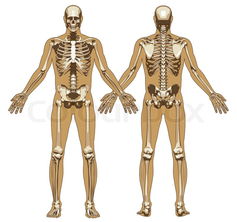 Human skeleton on flat body background. Front and back view. Vector ...