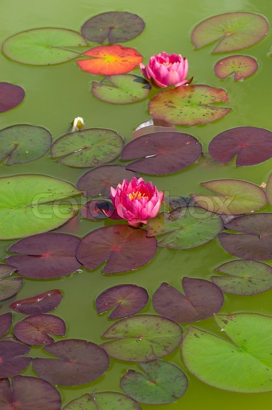 Pink, lotus, red, pond, lilly, water, green, blossom ...