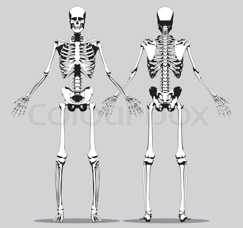 Front and back view of a human skeleton (male) on the gray ...