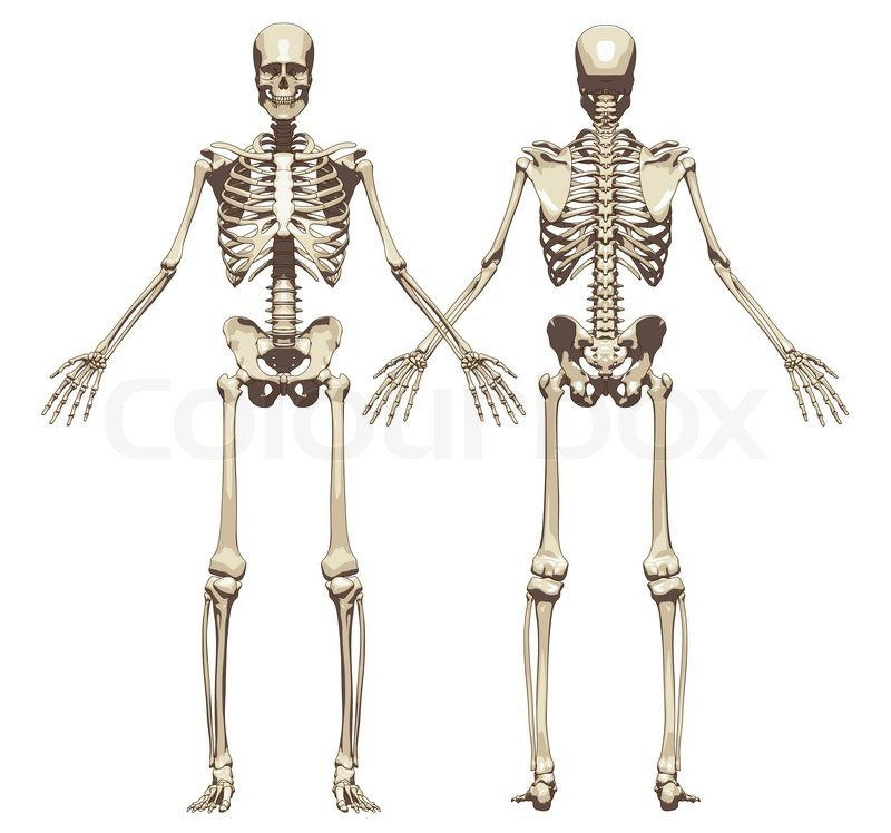 A Human Skeleton Front And Back View Isolated On A White Background