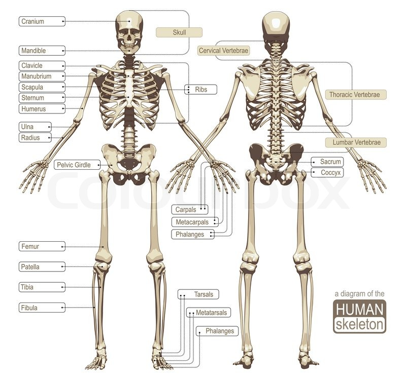 A diagram of the human skeleton with titled main parts of the ...