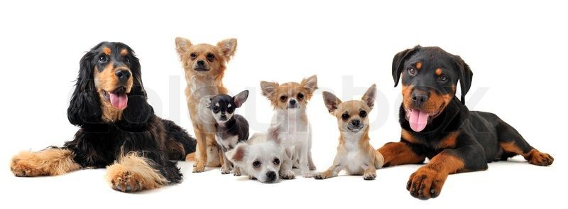 Group Of Puppies In Front Of White Background Stock Photo Colourbox