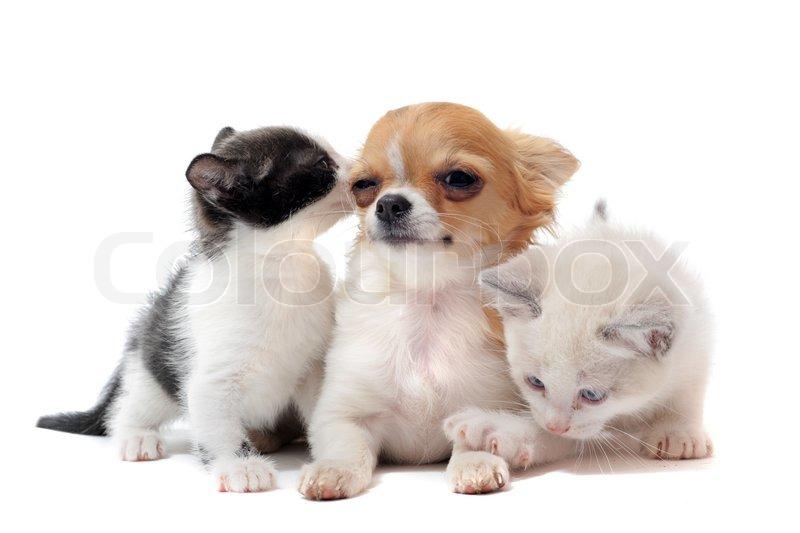 чихуахуа знакомство кошки и