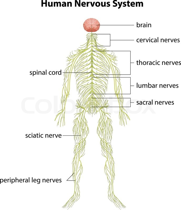 An Image Showing The Human Nervous System Stock Vector Colourbox