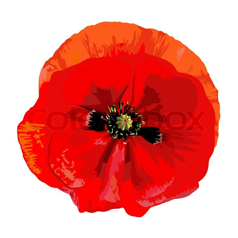 Drawing A Single Red Poppy Stock Vector Colourbox