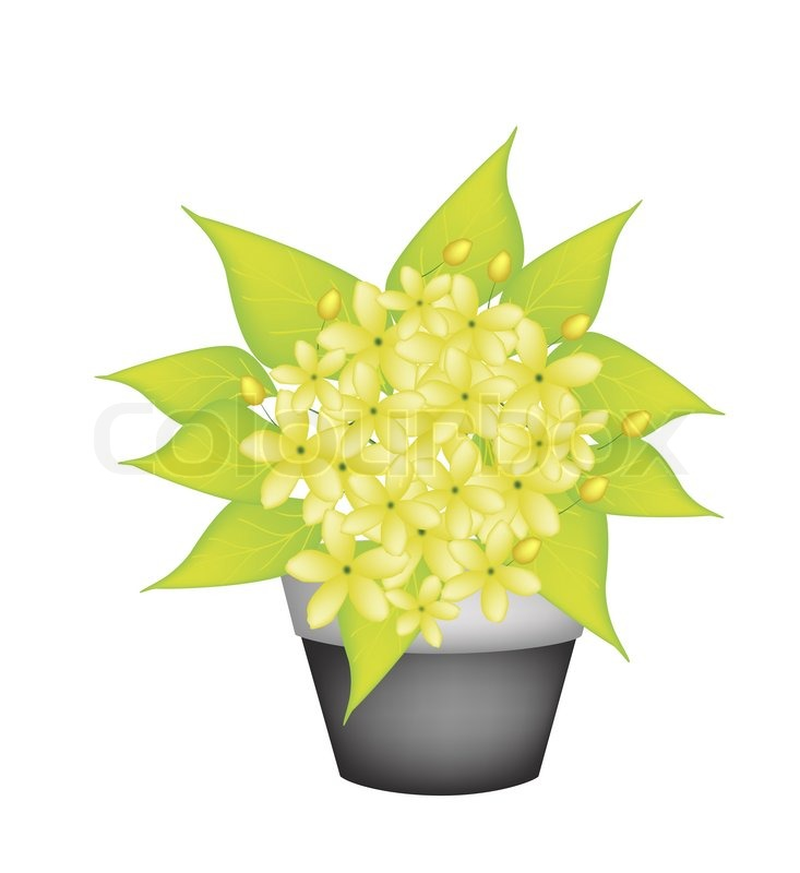 Beautiful flower illustration yellow color of cassia fistula or beautiful flower illustration yellow color of cassia fistula or golden shower flower in ceramic pot for garden decoration stock photo colourbox workwithnaturefo