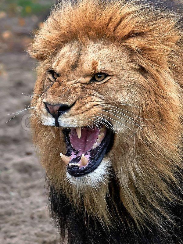 Closeup of a angry lio...