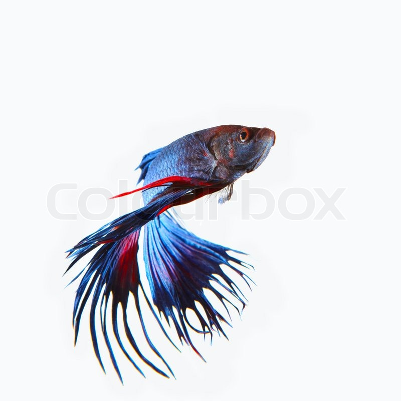 Close up siamese blue crown tail fighting betta fish isolated white ...