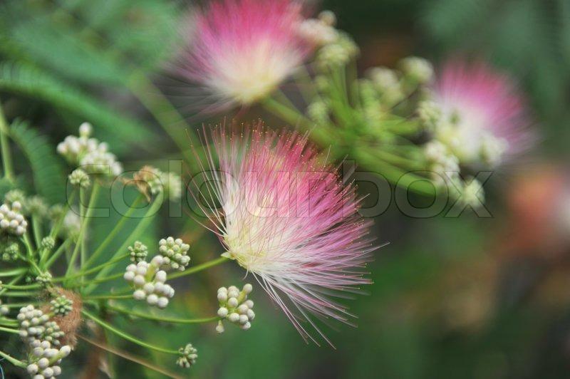 Persian silk tree albizia julibrissin foliage and flowers stock persian silk tree albizia julibrissin foliage and flowers stock photo mightylinksfo