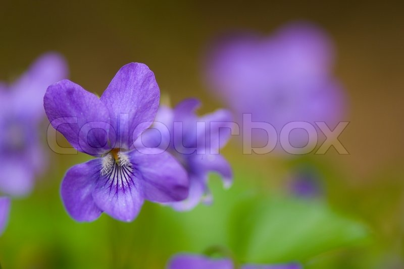 Viola Nature Flower Violet Spring Blue Plant Purple