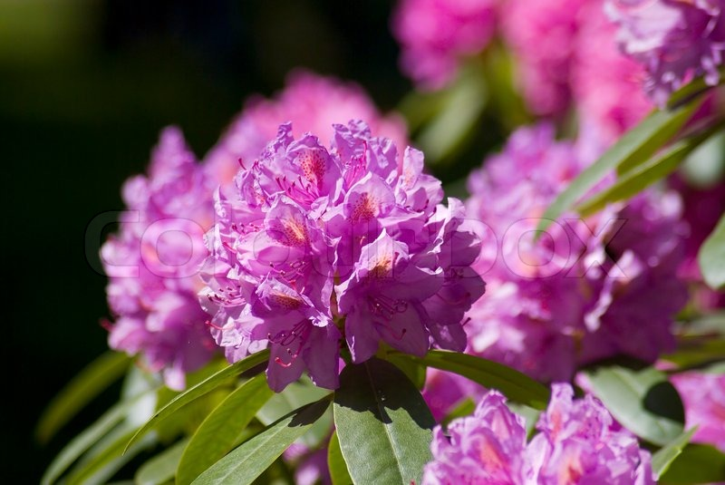 rot pflanze rhododendron closeup blume garten rosa natur sch nheit feder blatt sch n. Black Bedroom Furniture Sets. Home Design Ideas