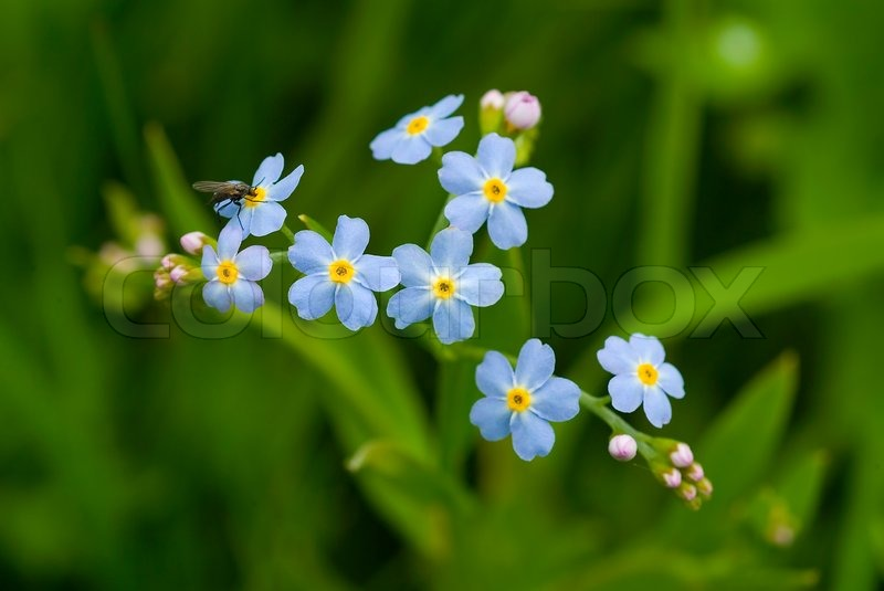 Forget me not bloom garden nature flower blue blossom plant forget me not bloom garden nature flower blue blossom plant spring macro delicate flora myosotis wild forgetmenot field floral fresh mightylinksfo