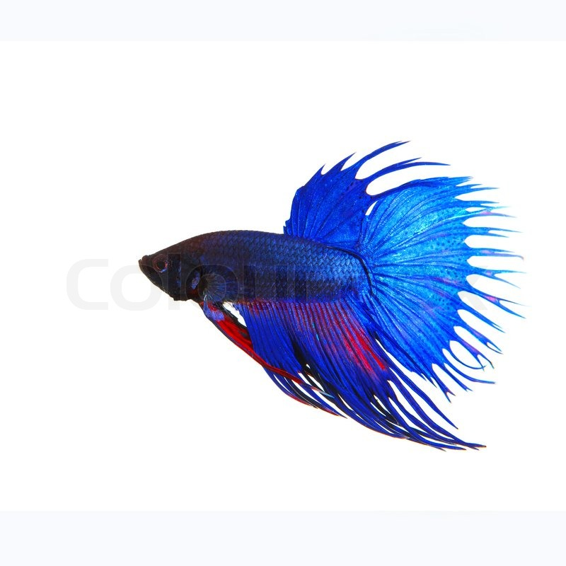 Side view of beautiful blue crown tail siamese thai betta fighting ...