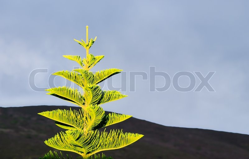 Stock image of 'Single Tree Lit by Sun During Storm ~ Tropical, Norfolk Island Pine; Native the South Pacific'