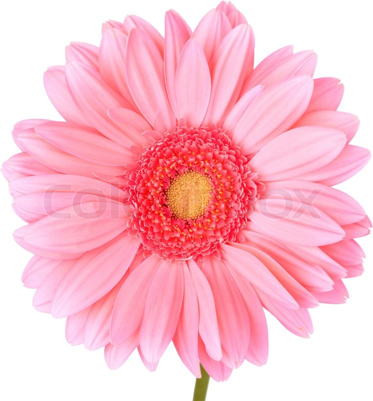 buy stock photos of daisy  colourbox, Beautiful flower