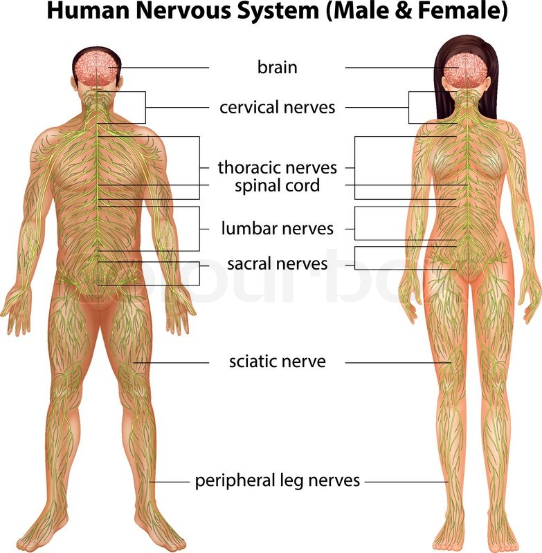 The Male And Female Nervous Systems On A White Background Stock