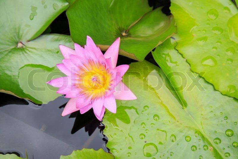 Lotus flower in water pond, stock photo
