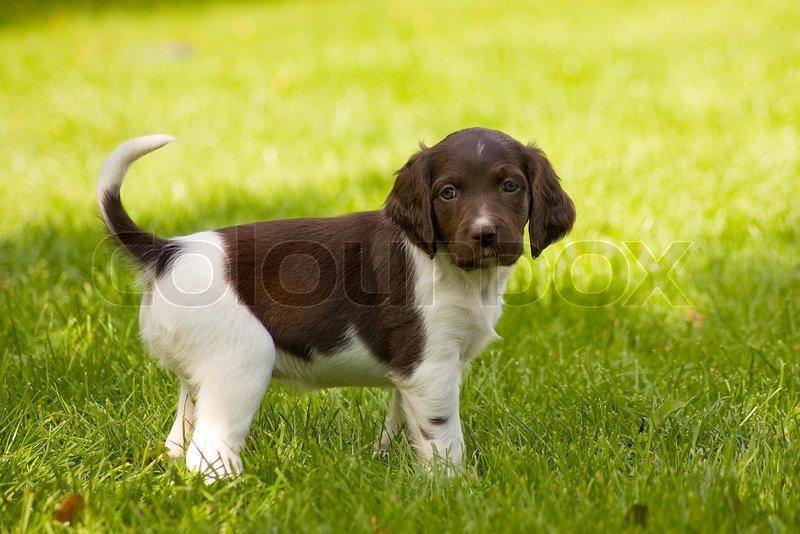 Münsteraner Hund