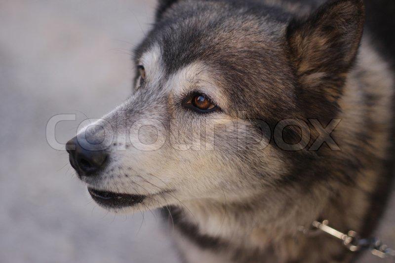 Nahaufnahme einer braunen Augen Sibirischer Husky an einer