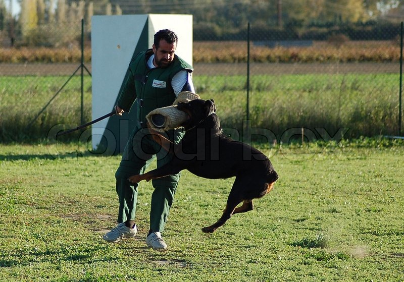 Training in attack for a beautiful purebred rottweiler