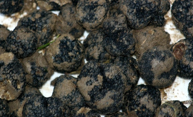Black truffles ,tuber melanosporum, in a box | Stock Photo