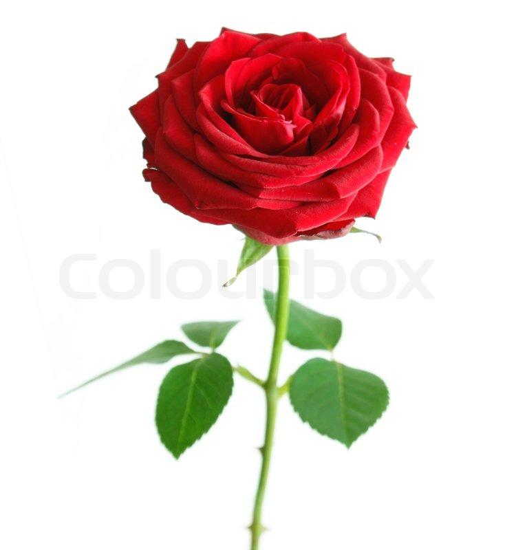 Rose, geburtstag, dekorationen | Stockfoto | Colourbox