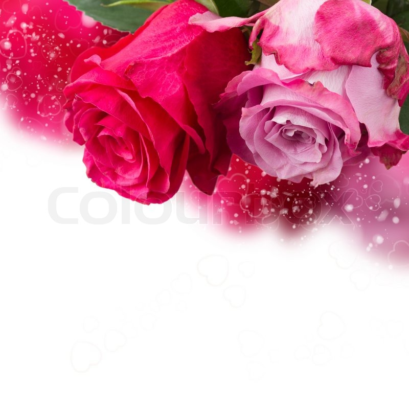 Two dark and light pink rose flowers border on white background two dark and light pink rose flowers border on white background stock photo colourbox mightylinksfo