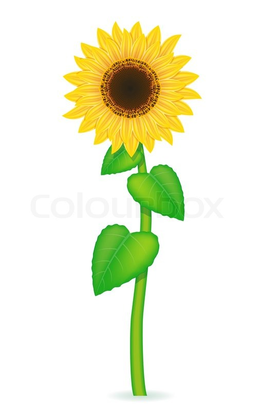 sunflower vector illustration isolated on white background stock rh colourbox com sunflower vector clip art sunflower vector free