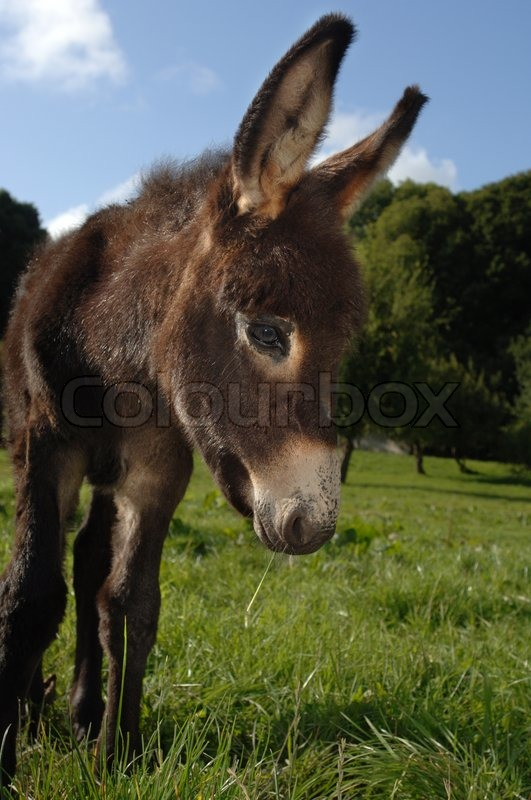 Young Donkey Foal, stock photo