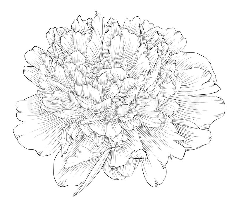 Beautiful Monochrome Black And White Peony Flower Isolated