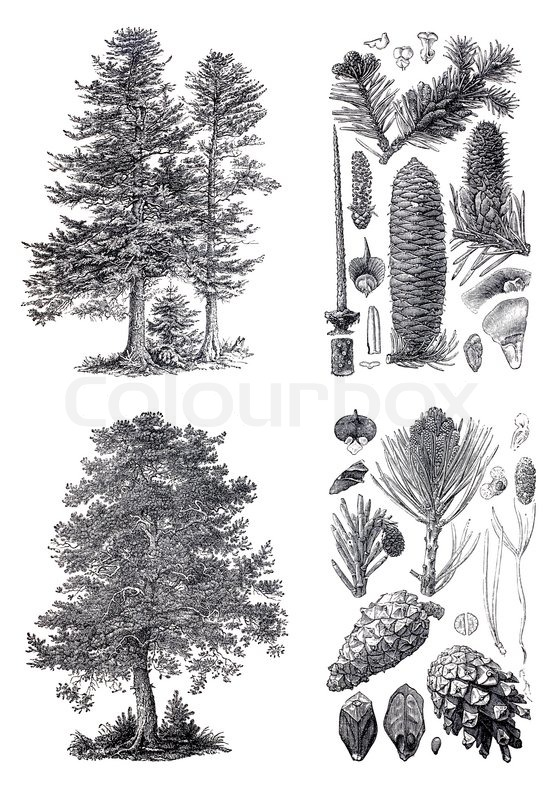 Retro Vintage Silhouettes Of A European Pine And Siberian Fir Trees An Engraving Illustration From The Public Domain Dictionary Published In 1905