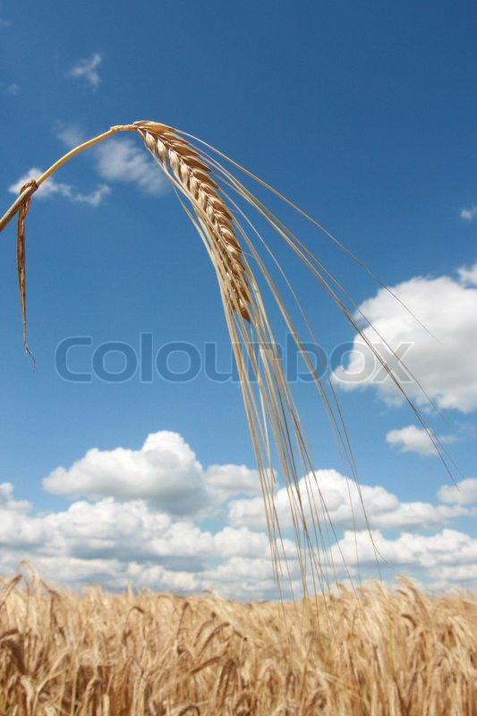 Stock image of 'Ears of corn to a corn field in the summer.'