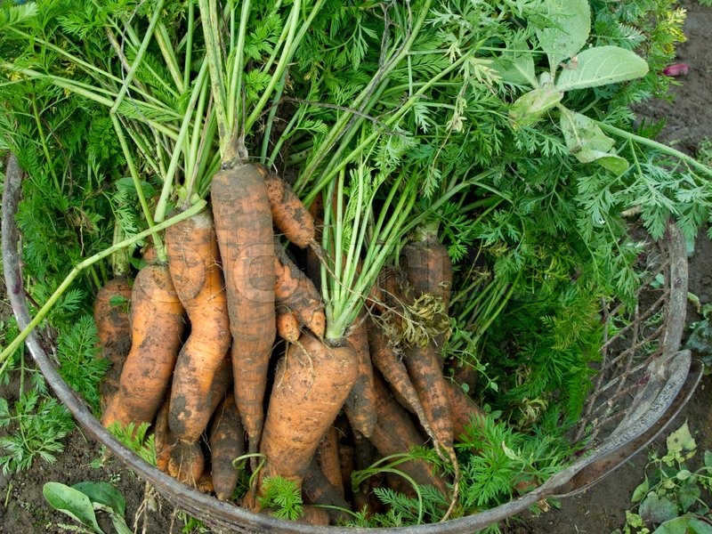 Stock image of 'Fresh harvested carrots'