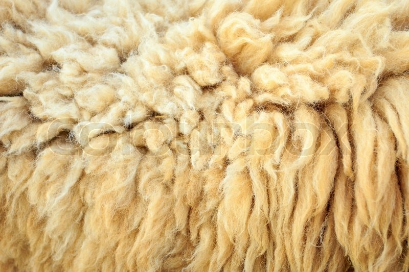 Wool sheep, stock photo