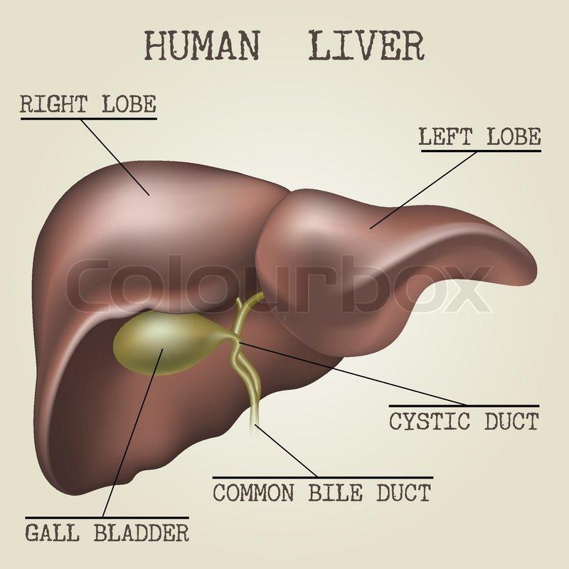 Human liver anatomy illustration drawn in vintage encyclopedia style ...