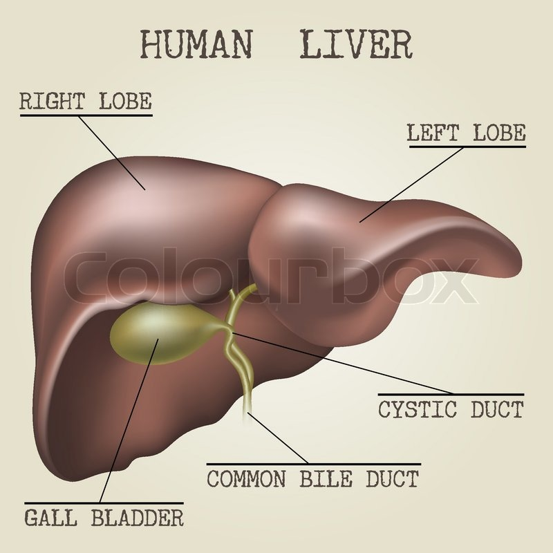 Human liver anatomy illustration drawn in vintage encyclopedia style ...