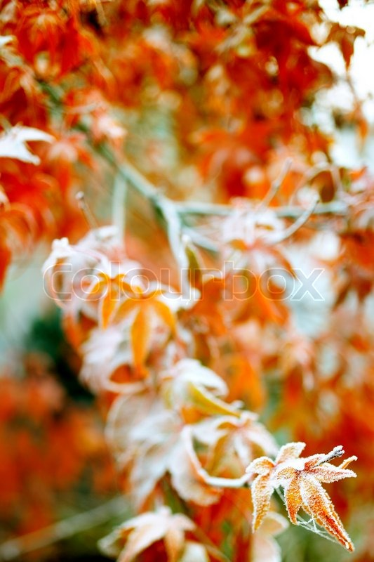 Frost on a winter red maple close up with vivid red background, stock photo