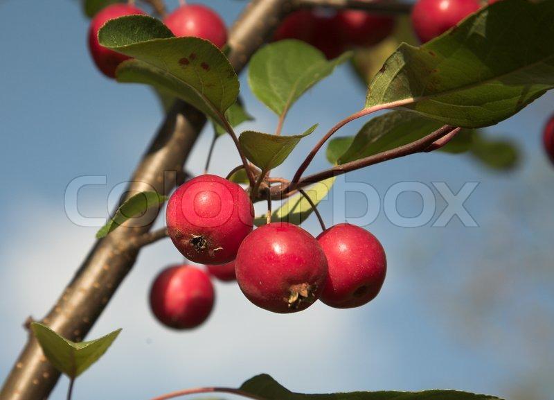 nahaufnahme bild eines apfelbaum mit sehr kleine rote pfel stockfoto colourbox. Black Bedroom Furniture Sets. Home Design Ideas