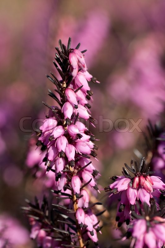 Close up of heather flowers with a blurry background stock photo close up of heather flowers with a blurry background stock photo mightylinksfo