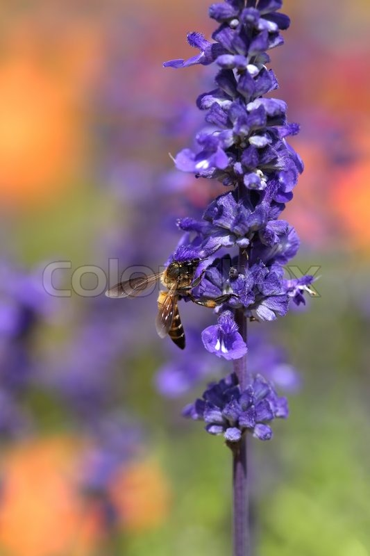 Stock Image Of Bee Lavender Flower Nature Insect Pollen